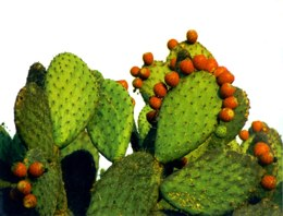 cactus proactol